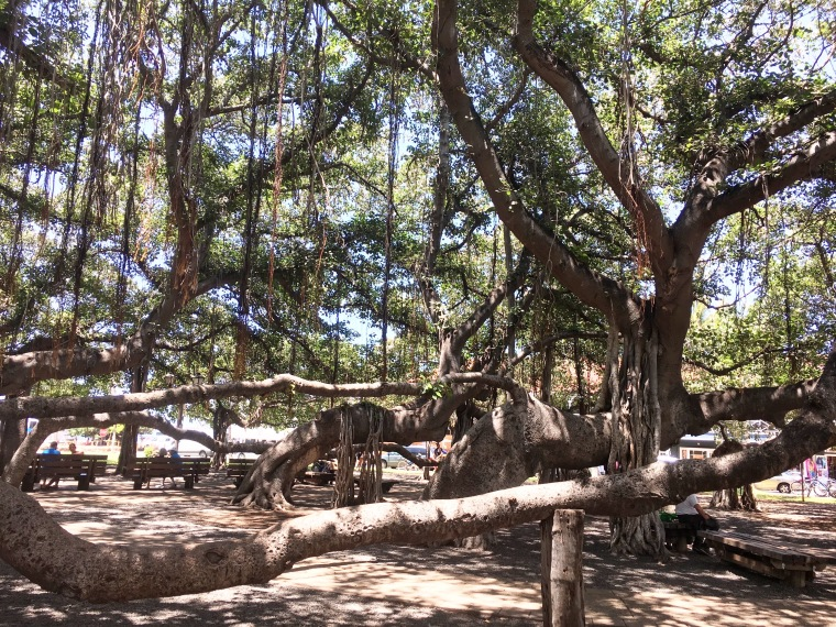 The historic Banyan tree in Lahaina