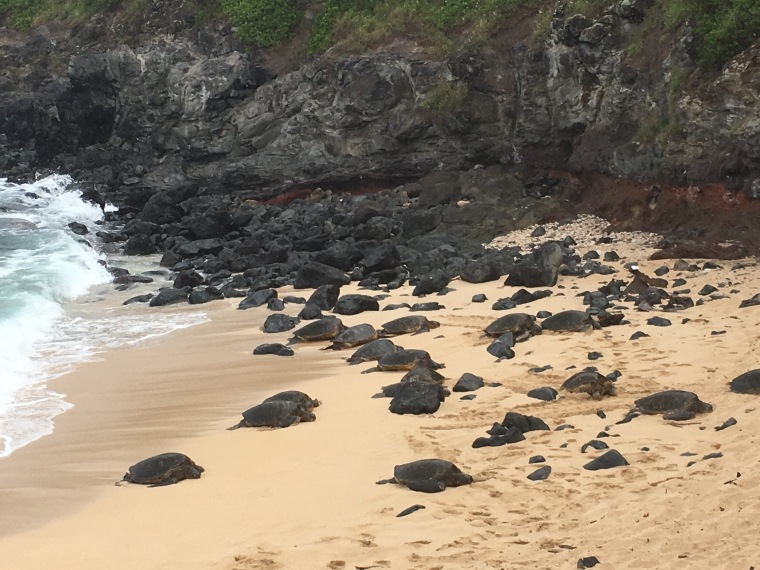 Turtles resting on the sand at Ho'okipa Beach Park